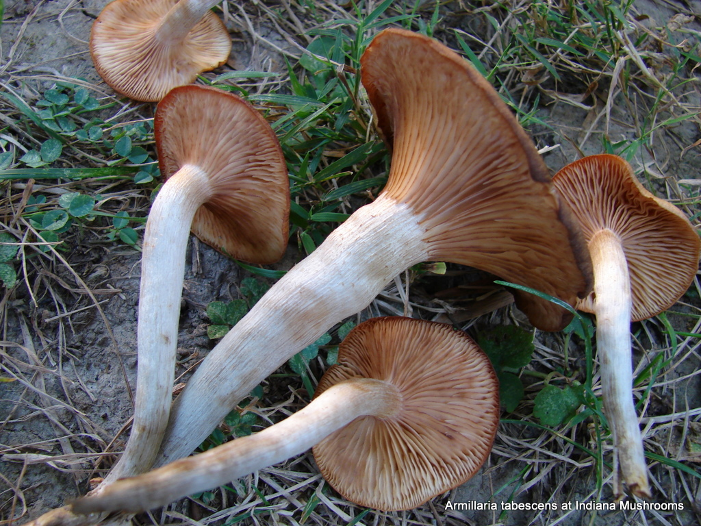 Edible Fall Mushrooms In Indiana http://www.indianamushrooms.com/armillaria_tabescens.html