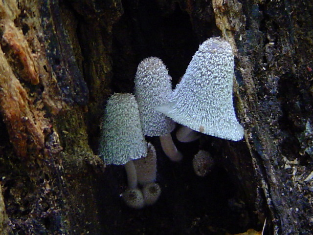 Coprinopsis lagopus at Indiana Mushrooms